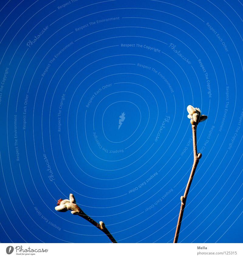 Frühling! Himmel blau Wärme Frühling Luft Park Beleuchtung Schönes Wetter Ast Physik Zweig atmen Blütenknospen Pollen Magnoliengewächse austreiben