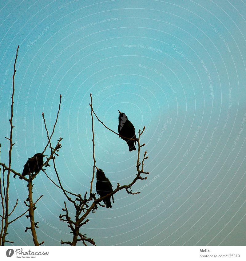 Konkurrenz Vogel Star Brunft werben 2 3 Entscheidung wählen Sportveranstaltung kämpfen anstrengen Erfolg verlieren Verlierer Garten Park Frühling Locken