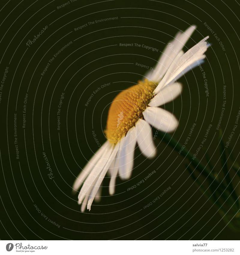 Blütenweiß Natur Pflanze grün schön Sommer ruhig gelb Frühling natürlich Glück Garten Feld Blühend Glaube