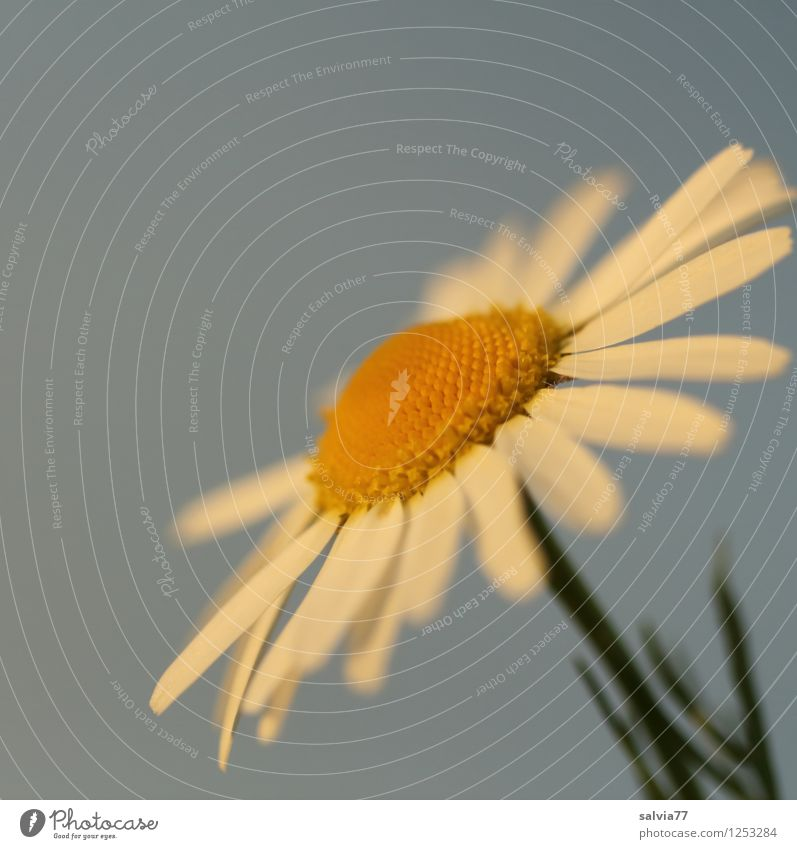 Blüte im Abendlicht Natur Pflanze blau Himmel (Jenseits) schön Sommer weiß Erholung ruhig gelb Frühling Glück Lampe Blühend Kräuter & Gewürze