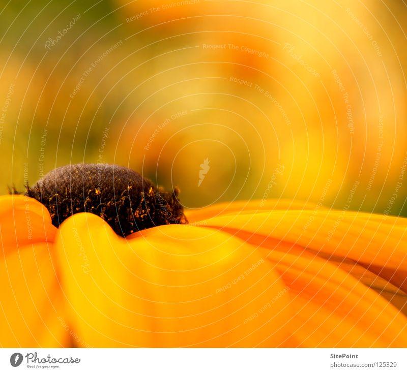 El centro Blume gelb orange Mitte Heilpflanzen Roter Sonnenhut
