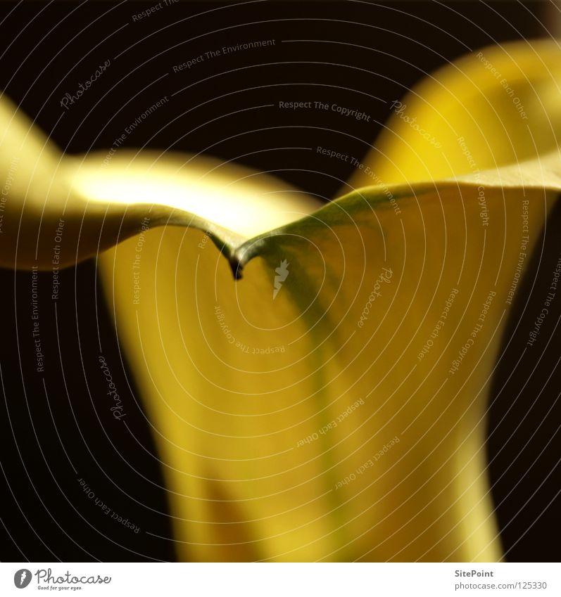 Calla Blume schwarz gelb Blüte