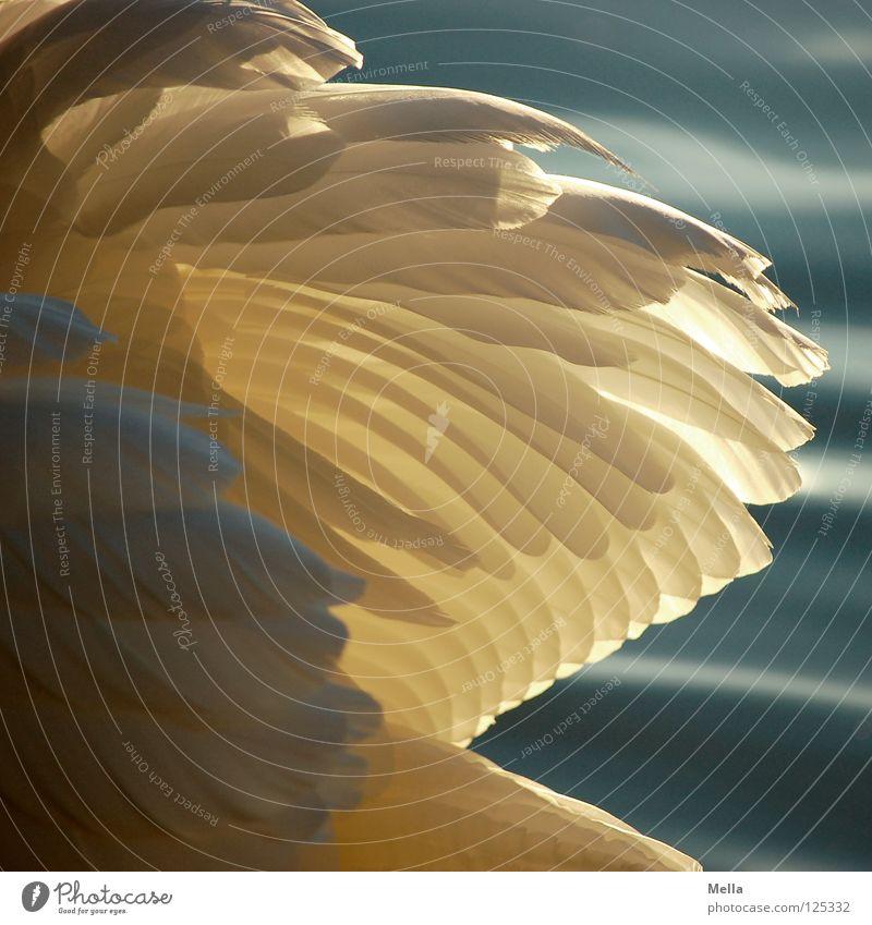 Federkleid Schwan weiß Vogel Beleuchtung See Teich Wasser Flügel Fittiche Wasservogel Schönes Wetter edel elegant