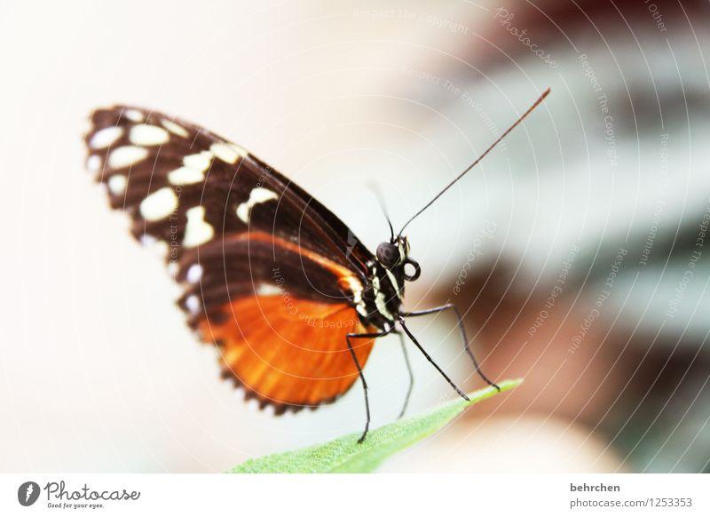 topmodel schön Tier außergewöhnlich fliegen Beine orange sitzen ästhetisch Flügel beobachten Schmetterling Fühler Rüssel Facettenauge
