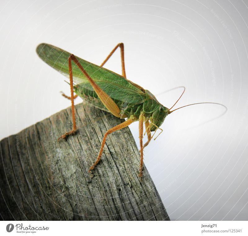 Abseits. Grünes Heupferd Insekt grün Tier Holz springen Grashüfer 6 Beine Makroaufnahme sitzen warten