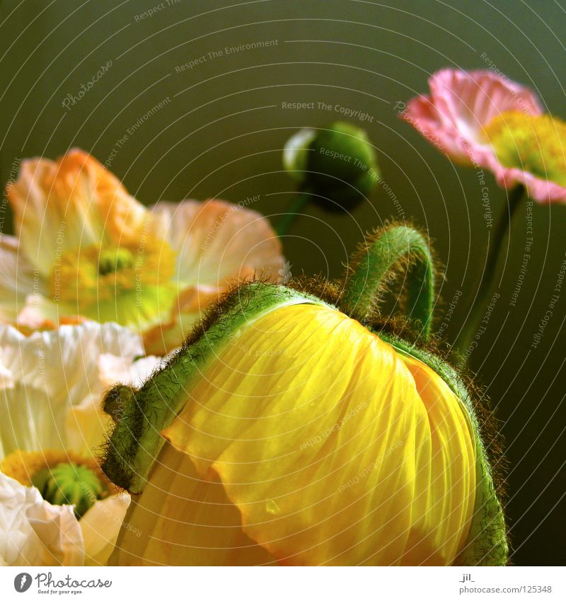 mohnblumen: party! schön weiß Blume grün Pflanze Freude gelb Bewegung orange rosa Mohn Leichtigkeit Ausgelassenheit Mohnblüte khakigrün