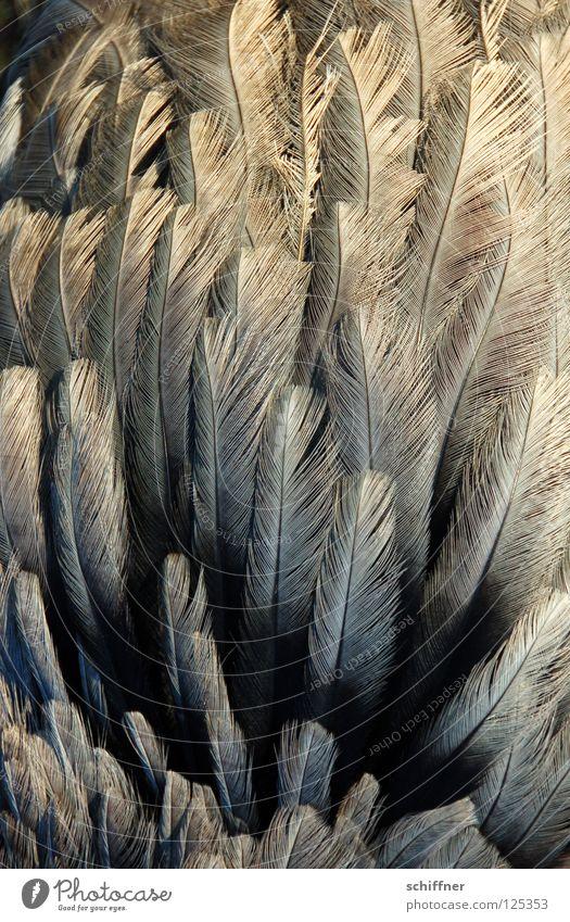 Nanduu plumös Vogel Laufvogel Tier Feder gefiedert fein grau Hintergrundbild Boa durcheinander Nandüüchen aufplustern aufgeplustert Strukturen & Formen