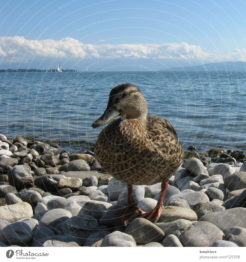 hallo Ente Wasser Himmel blau Wolken Berge u. Gebirge grau Stein See Vogel Wellen Küste Bodensee