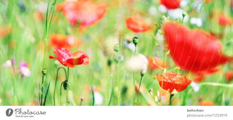 gegen die kälte... Natur Pflanze Frühling Sommer Schönes Wetter Blume Gras Blatt Blüte Wildpflanze Mohn Garten Park Wiese Feld Blühend Duft verblüht Wachstum