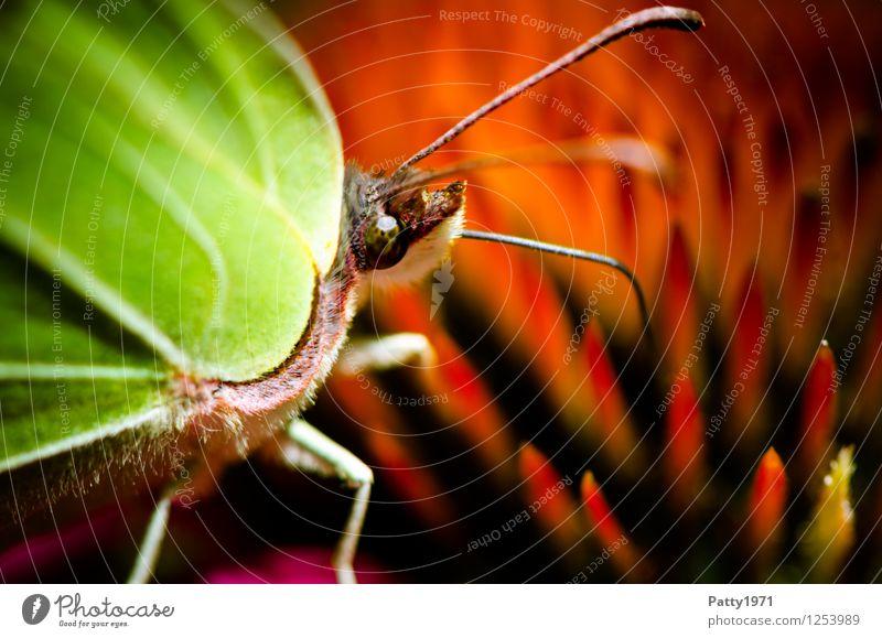 Zitronenfalter III Tier Schmetterling Fressen sitzen grün rot Appetit & Hunger bizarr Natur Farbfoto Außenaufnahme Makroaufnahme Menschenleer Tag