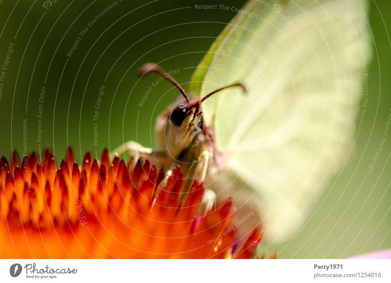Zitronenfalter II Tier Schmetterling 1 Fressen sitzen gelb bizarr Natur Farbfoto Außenaufnahme Makroaufnahme Menschenleer Tag