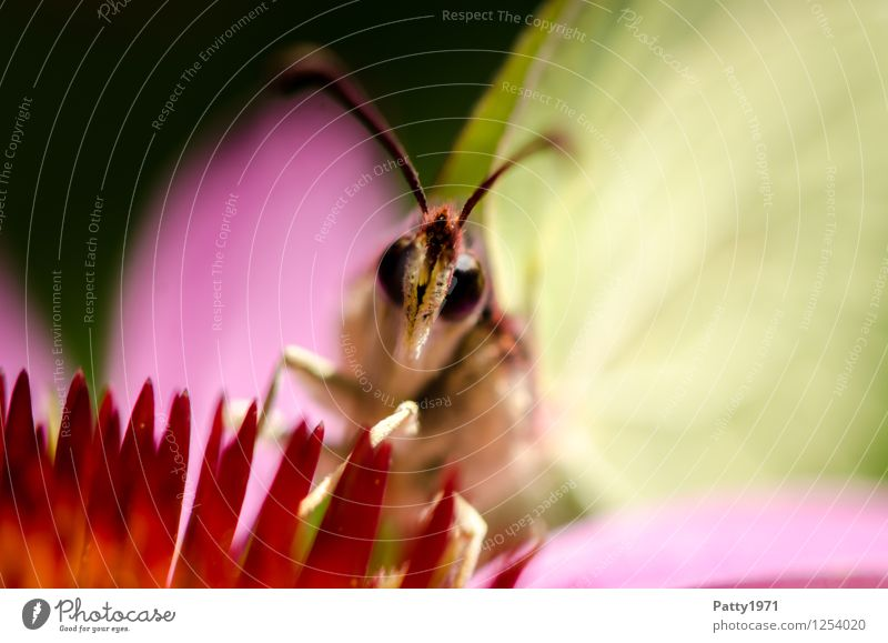 Zitronenfalter I Tier Schmetterling 1 Fressen sitzen gelb bizarr Natur Farbfoto Außenaufnahme Makroaufnahme Menschenleer Tag