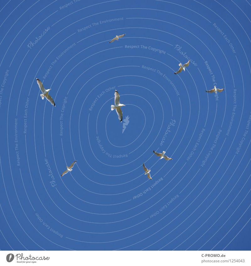 Kreisende kreischende Möwen Tier Wildtier Möwenvögel Schwarm fliegen kreisen Segeln Vogelflug Flügel Himmel himmelblau Wolkenloser Himmel Farbfoto Außenaufnahme