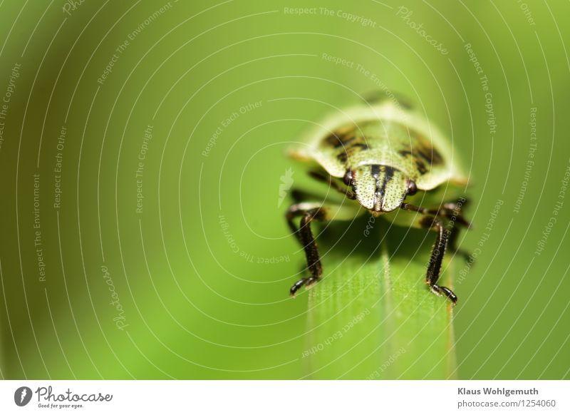 Es grünt so grün... Umwelt Natur Tier Pflanze Gras Garten Wiese Wald Käfer Grüne Blattwanze 1 hocken sitzen warten schwarz Farbfoto Außenaufnahme Nahaufnahme
