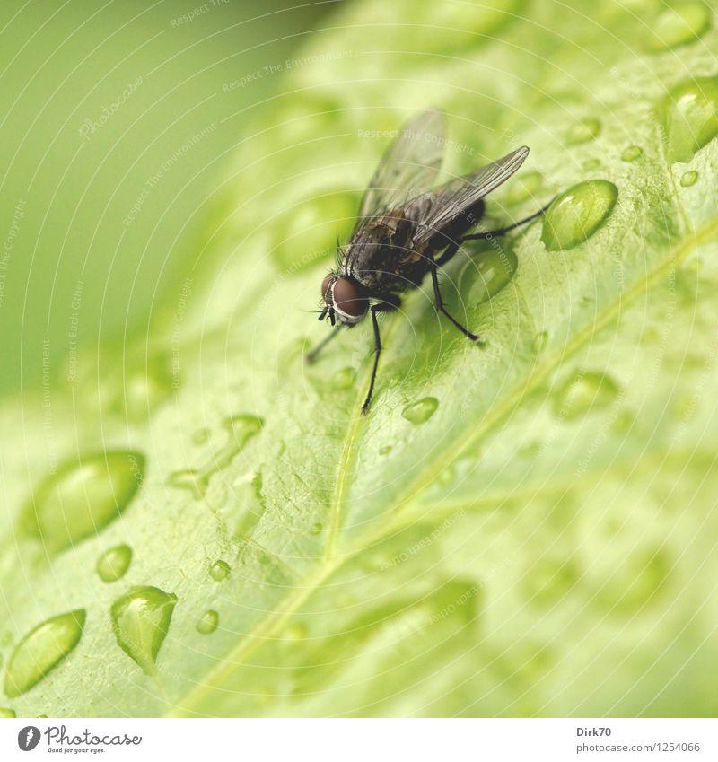 Puck mit nassen Füßen Pflanze grün Sommer Wasser rot Blatt Tier schwarz Umwelt klein grau Garten Regen Wildtier Fliege Sträucher