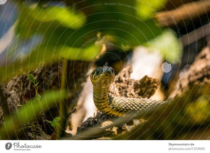 Ringelnatter Natur Pflanze Sommer Blatt Tier Umwelt Wetter Wildtier Klima Schönes Wetter Baumstamm Zweig Tiergesicht Schlange Schuppen
