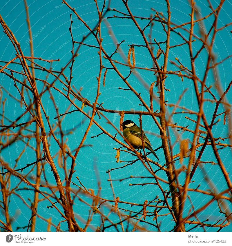 Meisenwinter (bunt) Vogel Kohlmeise hocken Einsamkeit Baum Sträucher Geäst Haselnuss Winter laublos Frühling gelb mehrfarbig sitzen Ast Zweig Himmel blau