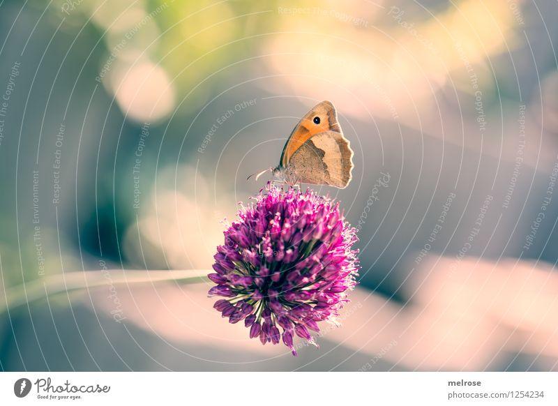 G E L A N D E T Knoblauch elegant Stil Natur Sommer Schönes Wetter Blüte Knoblauchblüte Garten Nutztier Schmetterling Flügel Großes Ochsenauge Fühler 1 Tier