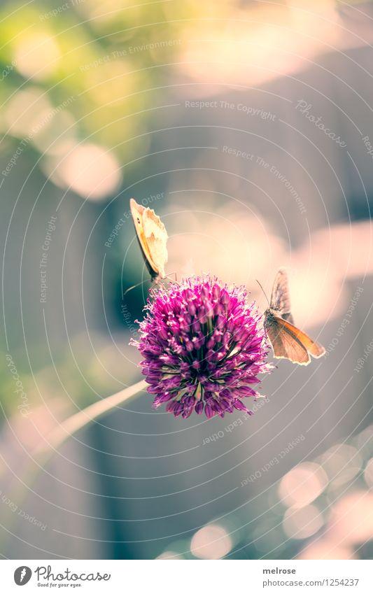 Doppel-Decker Knoblauch elegant Stil Natur Sommer Schönes Wetter Pflanze Blüte Topfpflanze Knoblauchblüte Garten Nutztier Schmetterling Flügel Großes Ochsenauge