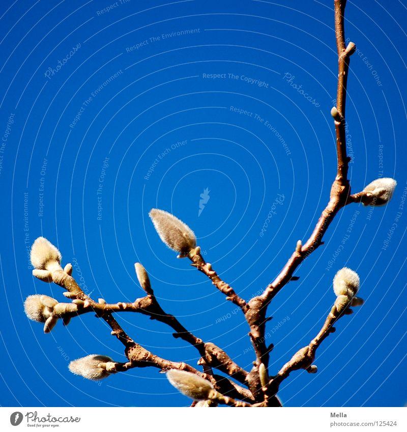 Frühling! II austreiben Magnoliengewächse Physik Beleuchtung Luft atmen Park Himmel blau Blütenknospen Ast Zweig ausschlagen Schönes Wetter Wärme Pollen