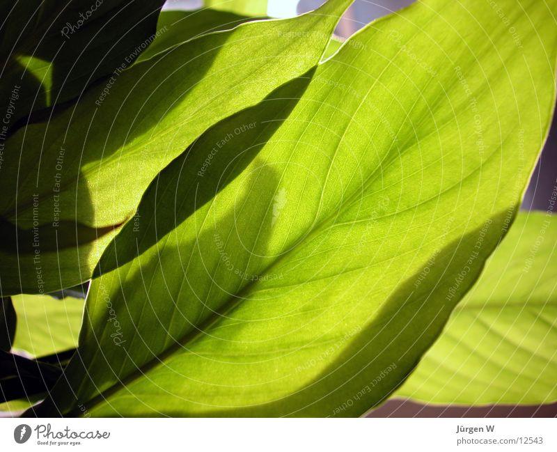 Blätter Blatt grün Blume Natur Gefäße Licht flower Sonne sun vein petal