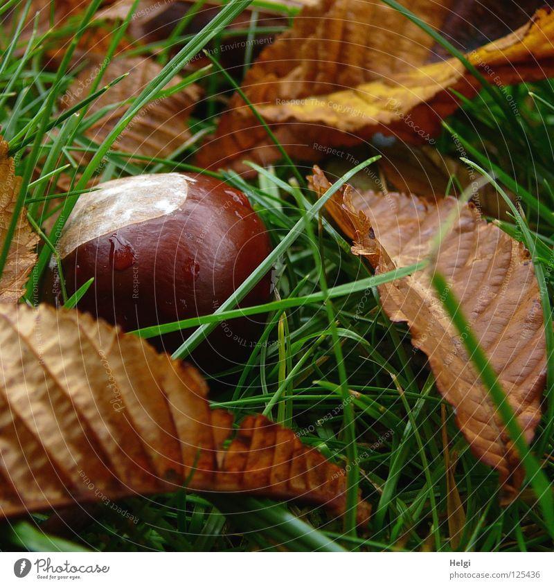 eine reife Kastanie liegt mit Blättern auf einer Wiese Herbst September Oktober fallen braun weiß rund nass Wassertropfen Regen Blatt Stengel trocken Gras Park