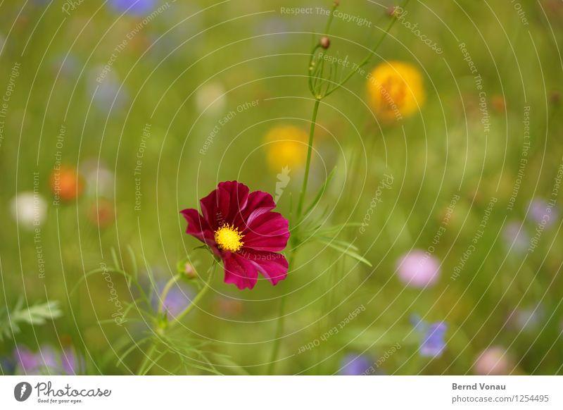 KaPing! Umwelt Natur Sommer Pflanze Blume Gras Wiese Gefühle Stimmung Freude Fröhlichkeit rot Blüte mehrfarbig grün gelb grell Farbfoto Außenaufnahme
