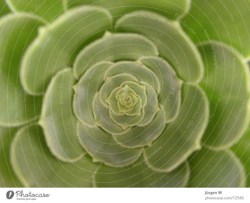 Echeveria Blatt grün Blüte Natur Flower bloom petal