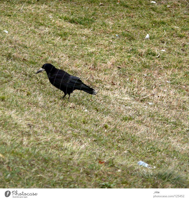 Krähe Rabenvögel grün schwarz Nahrungssuche Futter Gras Winter Vogel Appetit & Hunger Tier Einsamkeit Lebewesen Säugetier krähenfüße Flügel Natur Feder tierlieb