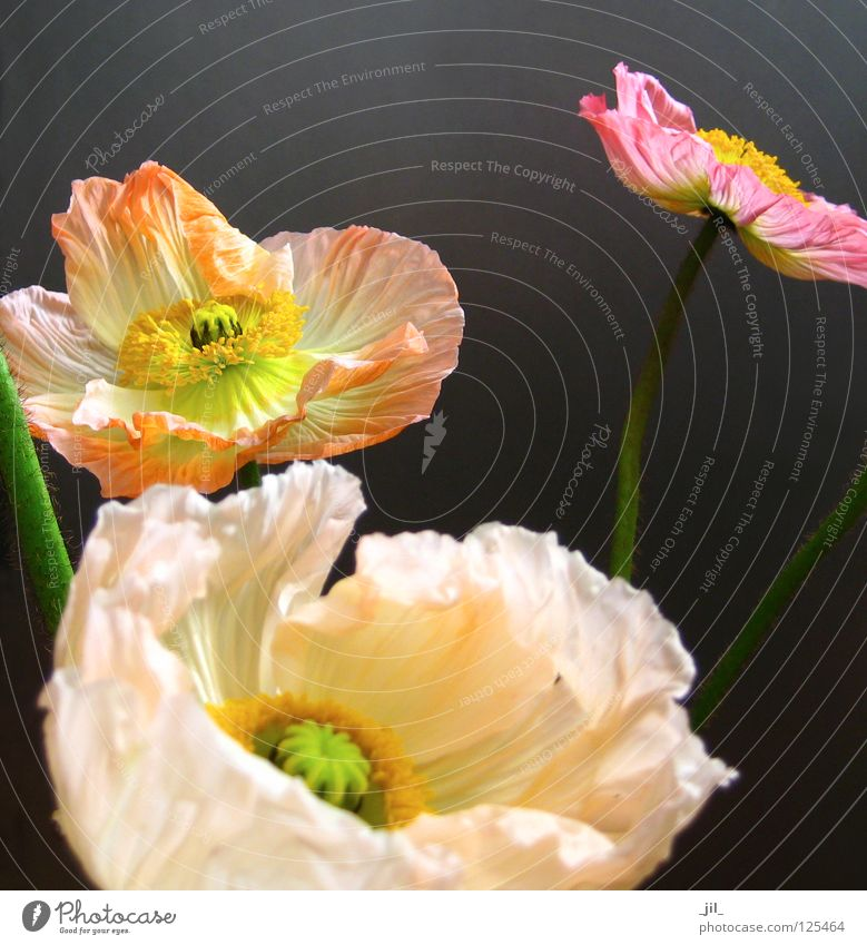 mohn - in der mitte des lebens schön Blume grün Pflanze gelb Bewegung grau orange rosa offen Mohn Leichtigkeit entfalten Mohnblüte khakigrün