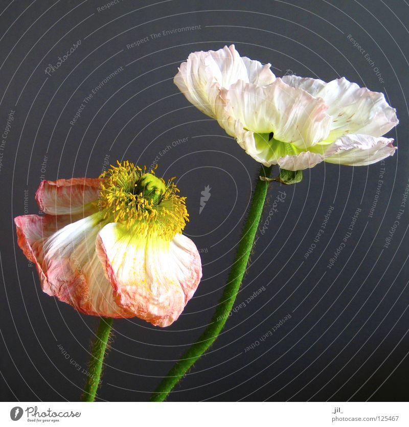 mohn - älter werden schön alt weiß Blume grün Pflanze gelb grau orange rosa offen Vergänglichkeit Mohn Leichtigkeit entfalten Mohnblüte