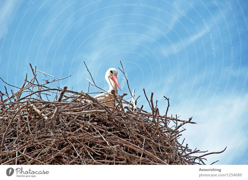 Storch im Nest I Umwelt Natur Himmel Wolken Tier Wildtier Vogel Storchschnabel 1 Holz Blick sitzen groß hoch blau braun weiß Nestbau Horst Zweige u. Äste