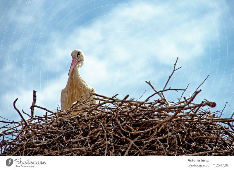 Storch im Nest II Umwelt Natur Tier Himmel Wolken Wetter Schönes Wetter Wildtier Vogel Flügel 1 Holz Blick sitzen groß hoch blau braun weiß Horst Heimat Nestbau