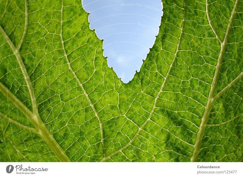 Kürbisblatt Blatt Rückseite Muster Genauigkeit grün Gemälde Herbst Licht Glätte faszinierend rau hell Himmel Natur Farbe
