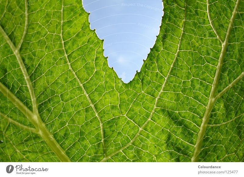 Kürbisblatt Natur Himmel grün Blatt Farbe Herbst hell Gemälde Glätte Genauigkeit Kürbis faszinierend rau Gemüse Rückseite