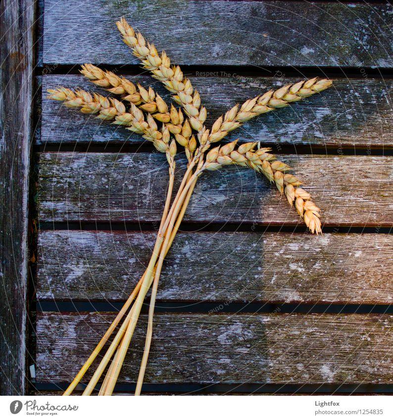 Roggenpalme Lebensmittel Ernährung Frühstück Bioprodukte Pflanze braun gelb gold Gerste Feld Gesundheitswesen Bündel Bäcker Rezepte Natur Farbfoto Außenaufnahme