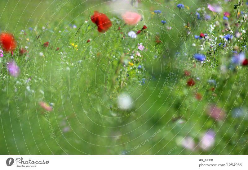 Sommerwiese Design Wellness Leben harmonisch Sinnesorgane Erholung Garten Umwelt Natur Landschaft Pflanze Blume Gras Blüte Mohn Mohnblüte Kornblume Wiese