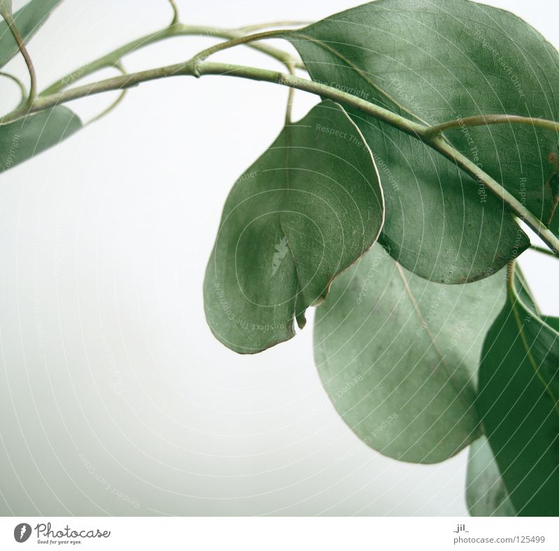 eukalyptus-blätter weiß grün schön Pflanze Blatt ruhig grau hell Zweig Duft Geruch matt reduzieren Eukalyptusbaum