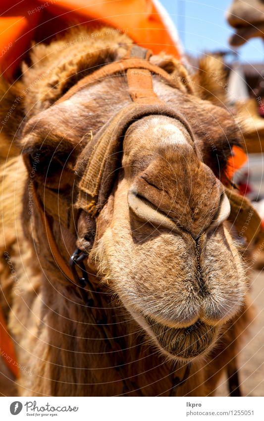 Himmel Timanfaya Spanien Afrika Ferien & Urlaub & Reisen Tourismus Ausflug Arbeit & Erwerbstätigkeit Seil Natur Tier Leder Ring Metall knien dreckig wild blau