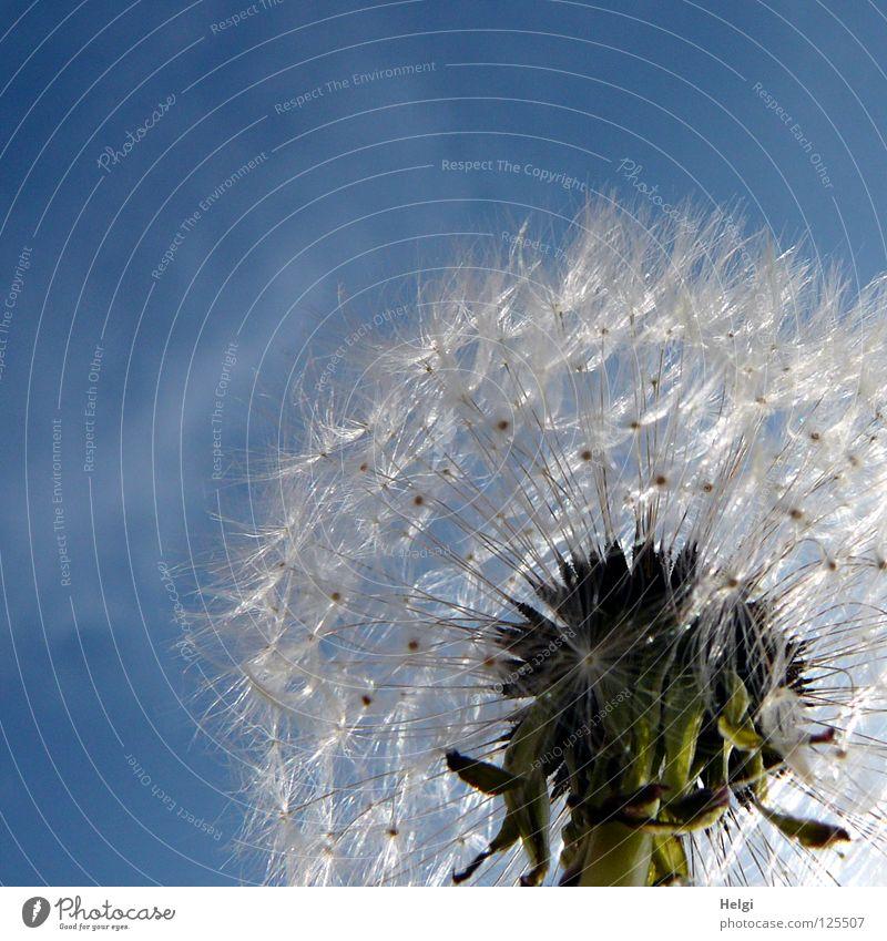 wer will puuuuuusten.....?? Himmel Natur Pflanze blau grün Sommer weiß Blume Wolken Wiese klein fliegen braun glänzend Luft Wachstum