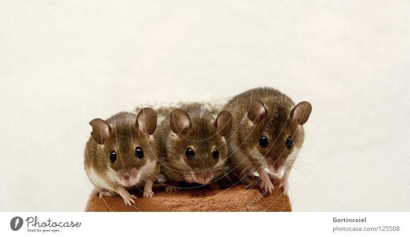 Wie die Hühner auf der Stange Haustier Maus Tiergesicht Fell Pfote 3 Tiergruppe Rudel Tierfamilie klein niedlich braun Knopfauge Nagetiere winzig Säugetier