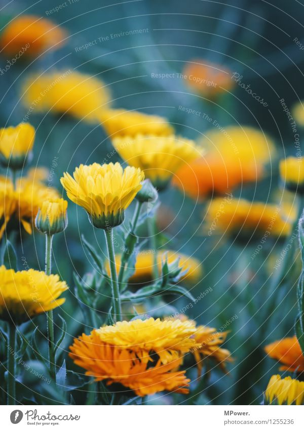 flowerpower Umwelt Natur Pflanze Tier Schönes Wetter Blume Gras Sträucher Blatt Blüte Wildpflanze Garten Park Wiese hell verrückt gelb Blühend Blütenknospen