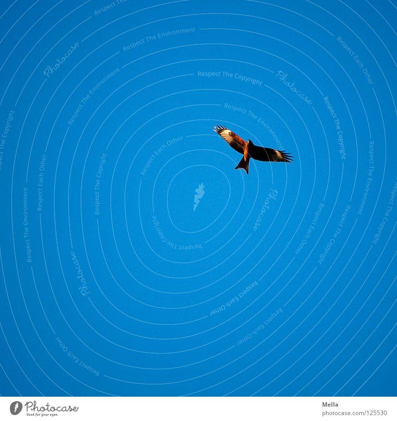 Eins Vogel Milan Roter Milan Greifvogel gleiten Segeln Luft Suche Beleuchtung Froschperspektive Himmel schön Luftverkehr fliegen Flügel Fittiche hoch oben frei