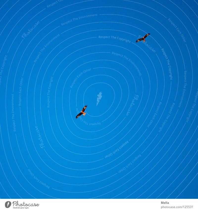 Zwei Vogel Milan Roter Milan Greifvogel 2 Zusammensein Ehe gleiten Segeln Luft Suche Beleuchtung Froschperspektive Himmel schön Luftverkehr fliegen Flügel