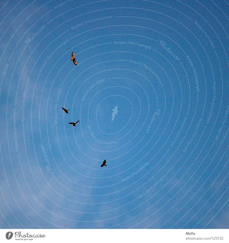 Vier Vogel Milan Roter Milan Greifvogel 4 mehrere gleiten Luft Suche Beleuchtung Froschperspektive Himmel viele zu viert Luftverkehr fliegen Flügel Fittiche