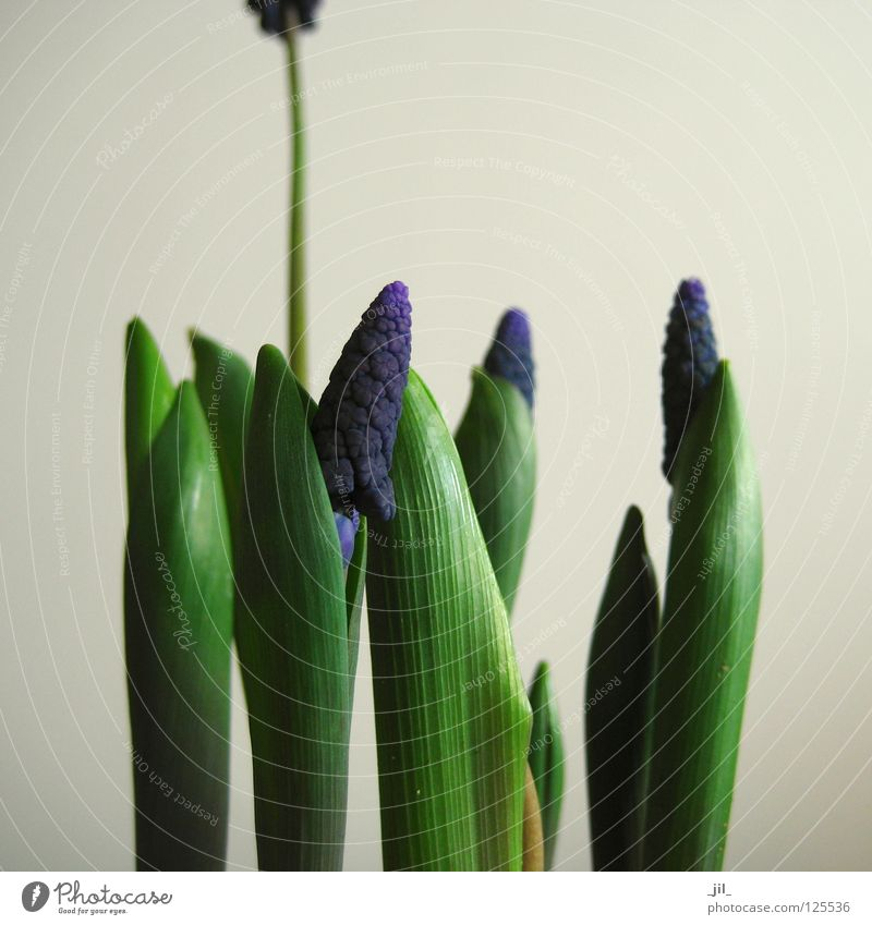 traubenhyazinthen schön grün blau Pflanze Frühling grau Sand Beginn Wachstum Niveau violett beige Hülle Skala Reifezeit Länge
