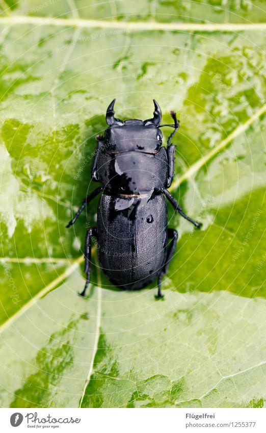 Das Geweih wächst noch grün Tier schwarz glänzend liegen nass Landkreis Regen Insekt Symmetrie Käfer Blattgrün Fühler Hirschkäfer