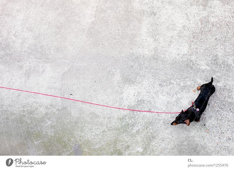 an der langen leine Tier Haustier Hund Dackel 1 Hundeleine Boden warten klein Tierliebe geduldig Farbfoto Außenaufnahme Menschenleer Textfreiraum links