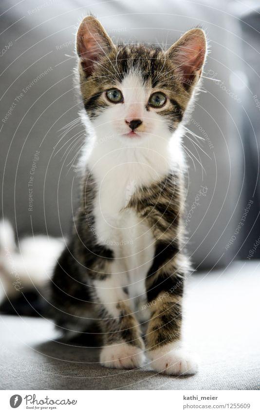 Der Graue im Gegenlicht Katze schön weiß ruhig Tier Tierjunges Liebe natürlich grau braun Wohnung Zufriedenheit Häusliches Leben beobachten weich Neugier
