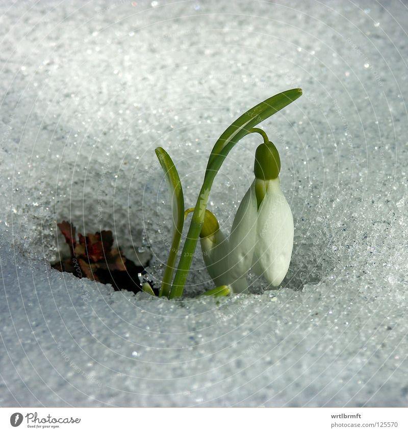 Schnee trifft Glöckchen Winter Natur Pflanze Frühling Eis Frost Blume Blüte Blühend Wachstum hell kalt neu grün weiß Schneeglöckchen Stengel Oberfläche Farbfoto